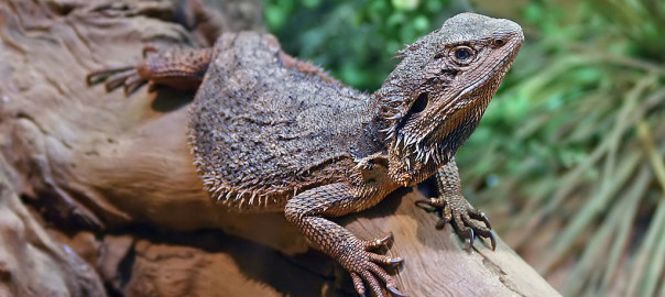 eastern bearded dragon facts