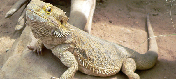what types of bearded dragon can be kept as pets